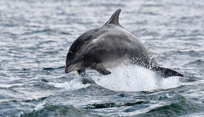 Delfin Flosse