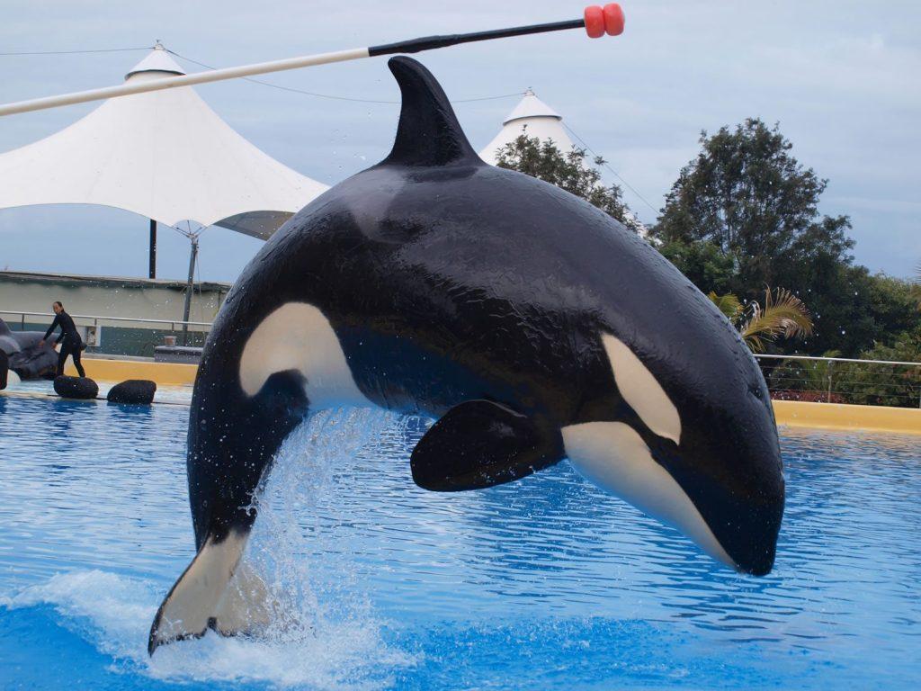 Orca Morgan in Gefangenschaft © C. Robles