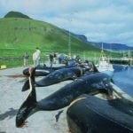 Grindwaljagd auf den Färöer Inseln