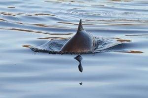 Tag des Ostseeschweinswals: Was Sie für den kleinen Wal tun können