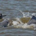 amazon-river-dolphin-fernando-trujillo-4