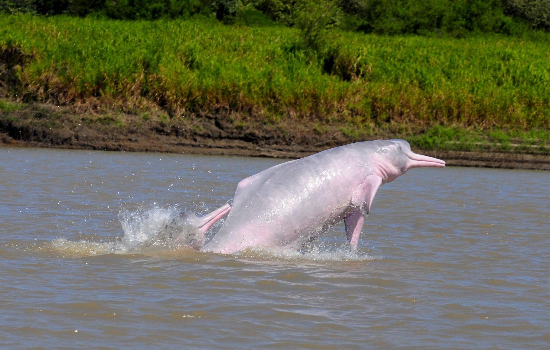 Boto / Amazonas-Flussdelfin