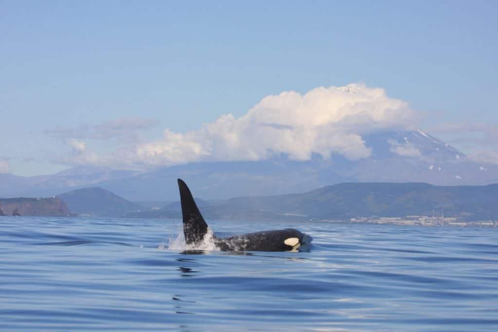 Mehr Schutz für Orcas in Russland