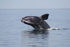 WDC schließt sich der Forderung nach globalen Maßnahmen zum Schutz von Walen und Delfinen vor dem Aussterben an