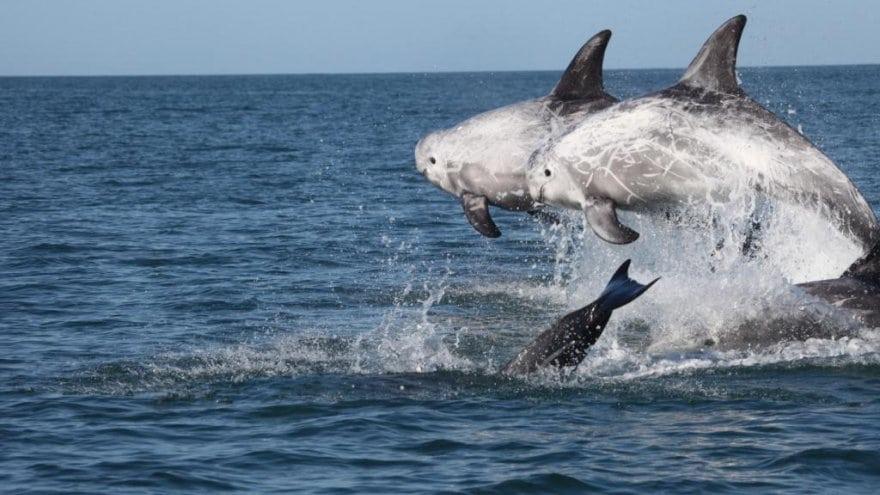 Rundkopfdelfine