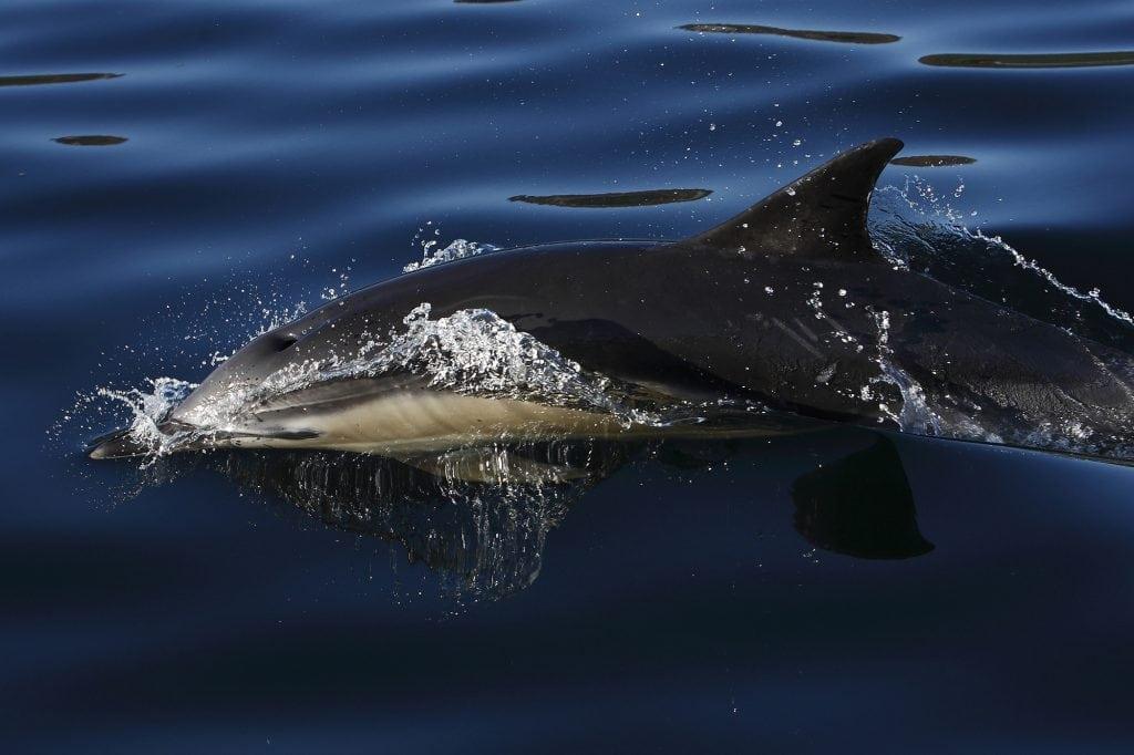 Wie viele Arten Delfine gibt es?