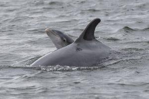 Trauernde Delfinmutter vor Neuseeland
