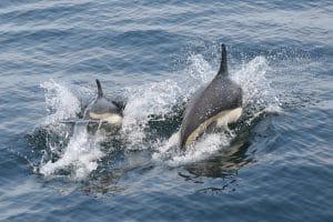 Samen in Norwegen wollen Delfine jagen