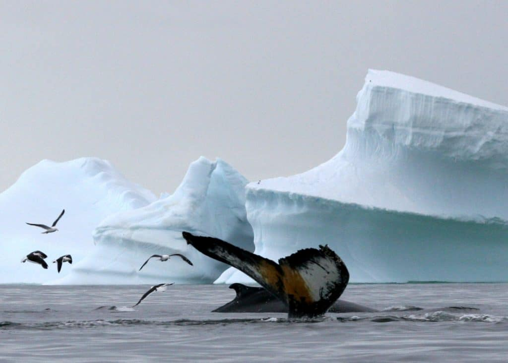 humpbck_whale_antarctica