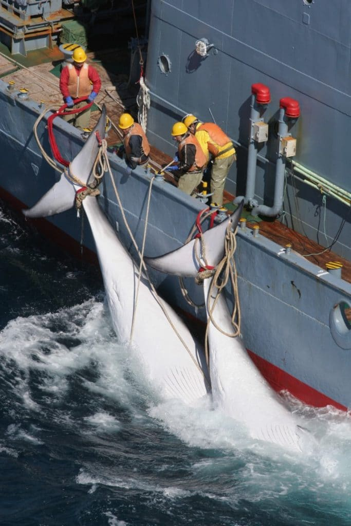Japans Austritt aus der Internationalen Walfangkommission – Schlechte Nachrichten für die Wale
