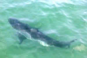 Können Delfine Haie verjagen?