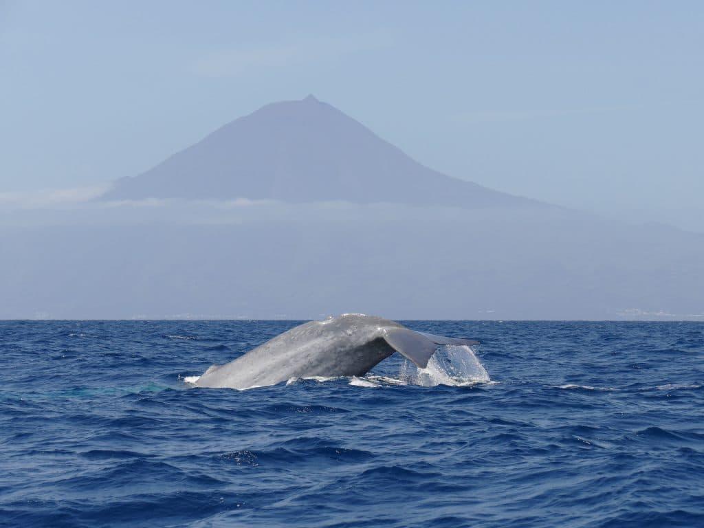 Blauwal Azoren