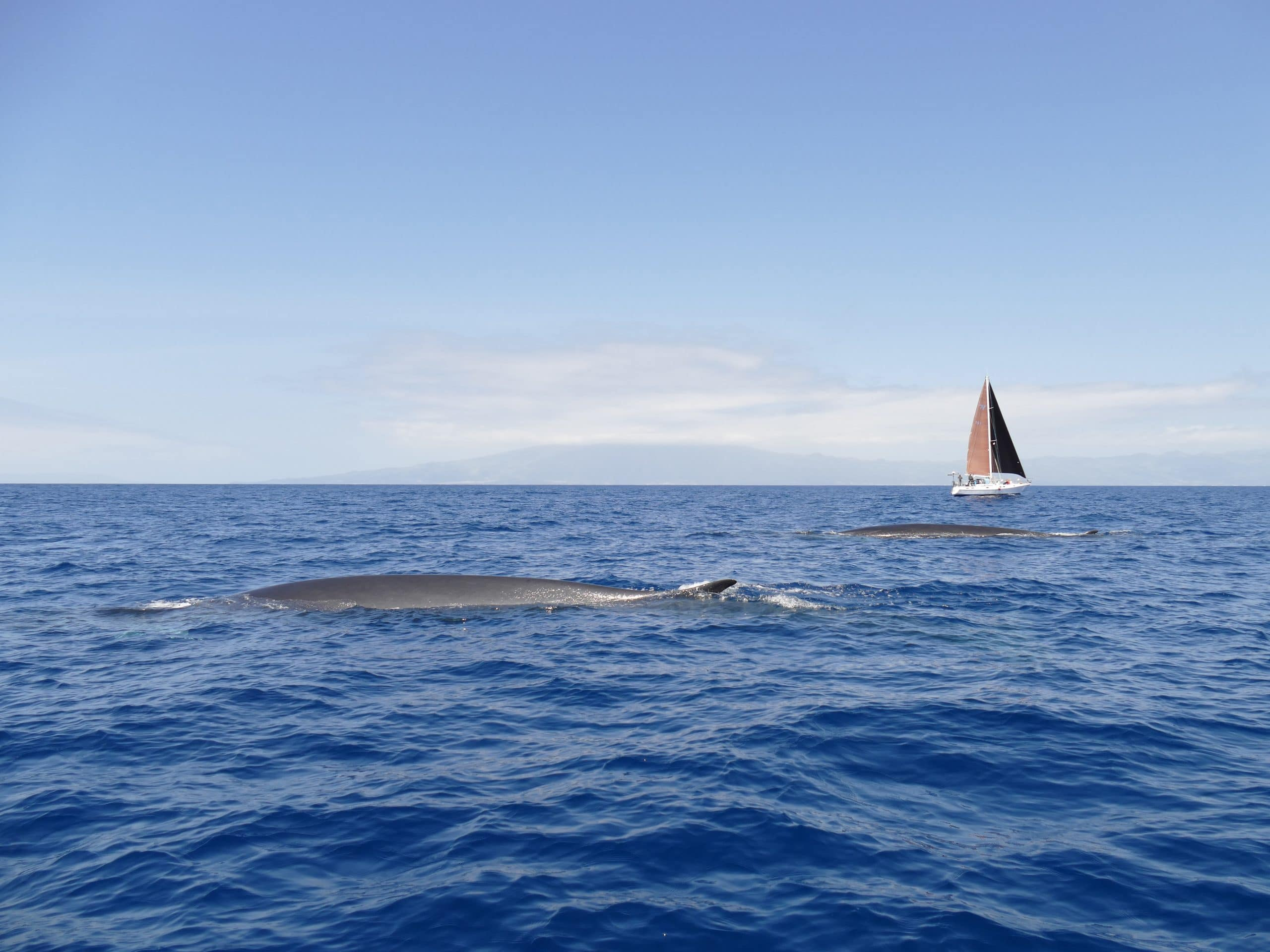 Finnwale Azoren (C) Oliver Dirr / Whaletrips