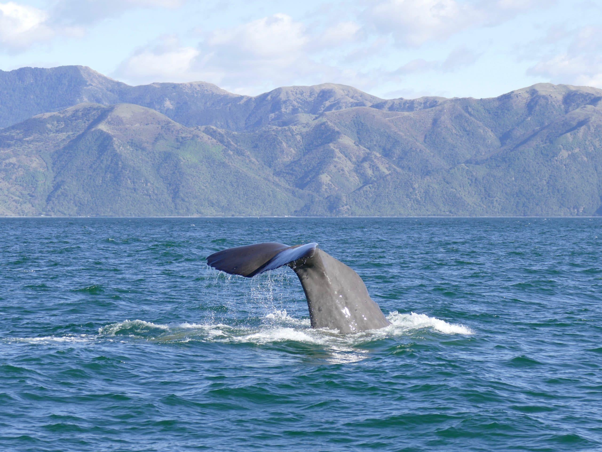 Pottwal (C) Oliver Dirr / Whaletrips