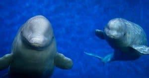 Belugas bereiten sich auf Freilassung ins weltweit erste Refugium vor