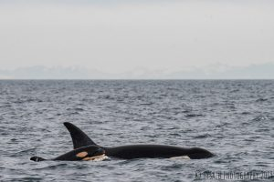 Bedrohte Orcas: erster Nachwuchs seit drei Jahren