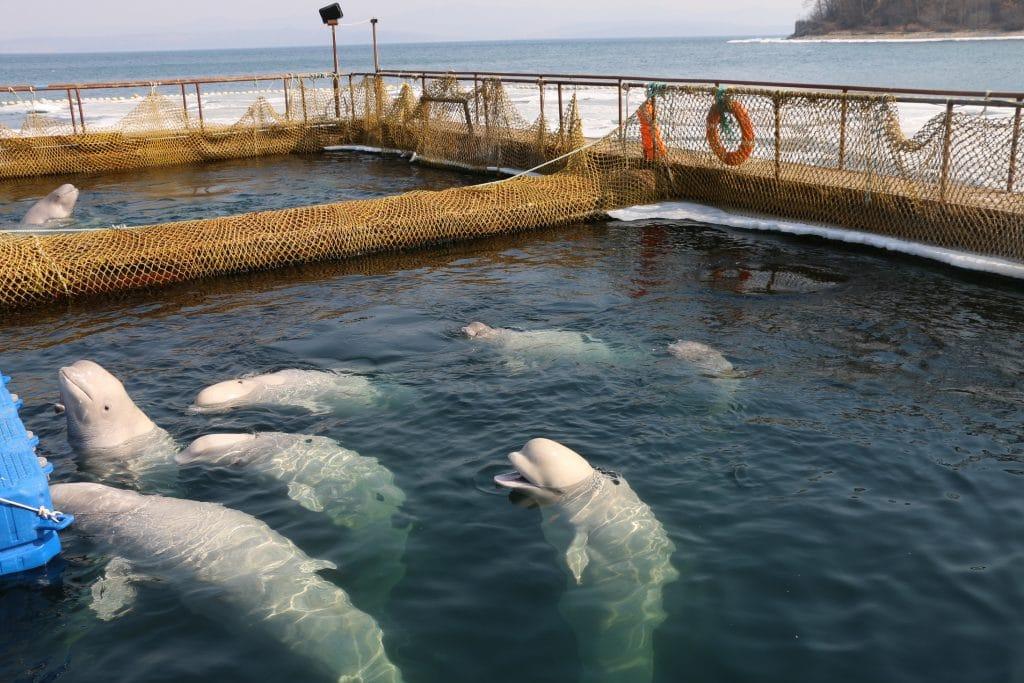 Belugas im Walgefängnis in Russland