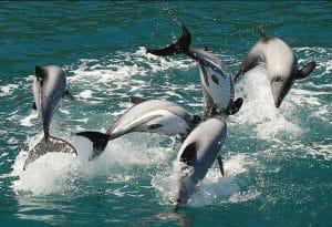 Wie würde die perfekte Welt für Neuseeland-Delfine aussehen?