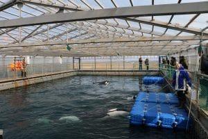 Wie geht es den Orcas und Belugas im russischen Walgefängnis?