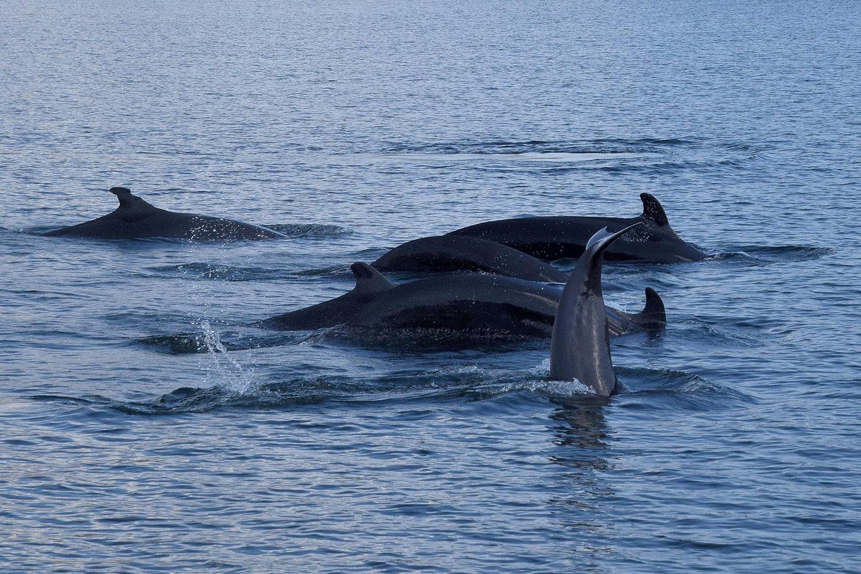 Unechte Schwertwale / False Killer Whales
