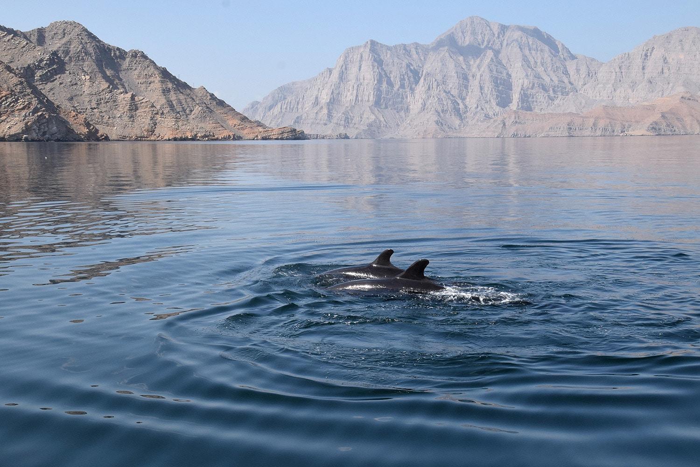 Kleine Schwertwale / False Killer Whales