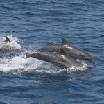 Atlantic spotted dolphin group