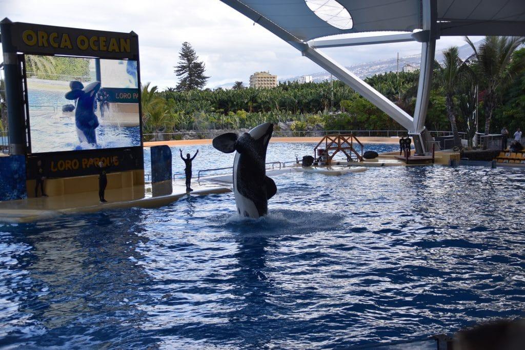Orca im Loro Parque, Teneriffa