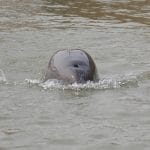 narrow-ridged-finless-porpoise-sg-grant-abel2