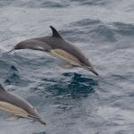 Short-beaked common dolphin