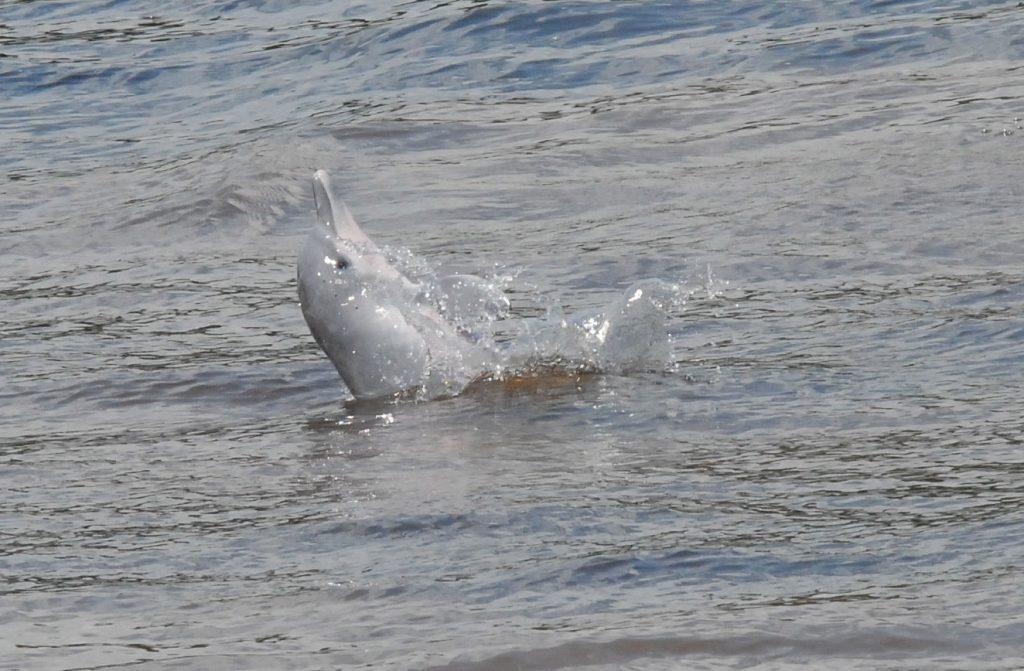 Süßwasserdelfine vom Aussterben bedroht