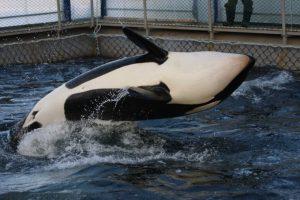 Russisches Walgefängnis: Orcas und Belugas freigelassen