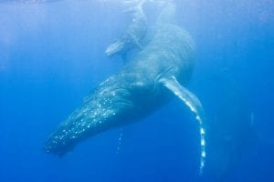 Neue Jagdtechnik von Buckelwalen entdeckt