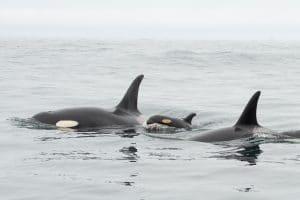 Hoffen und Bangen bei bedrohten Orcas