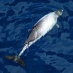 Indo-Pacific beaked whale