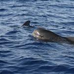 Short-finned pilot whal