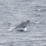True's beaked whale