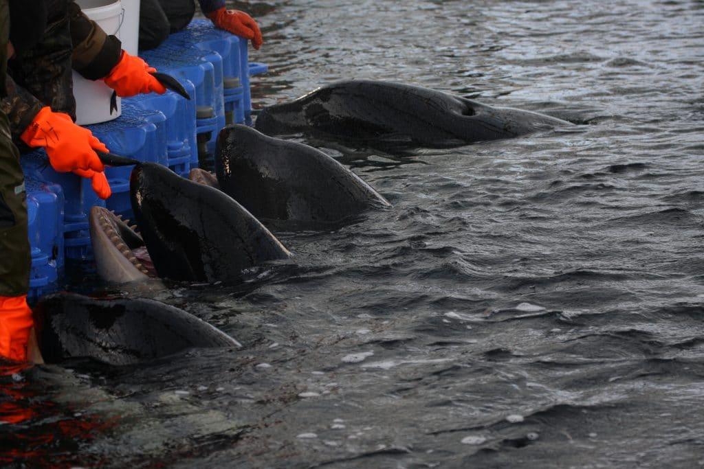 Trotz Freilassungen: weitere Fänge von Meeressäugern in Russland geplant