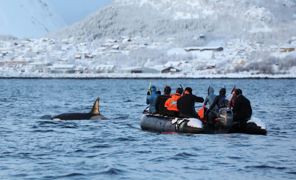 Schnorcheln mit Orcas: Gesetzgebung in Norwegen unzureichend