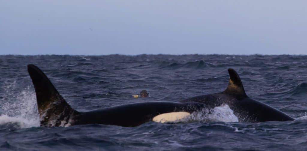 Schnorcheln mit Orcas in Norwegen (C) Rob Lott