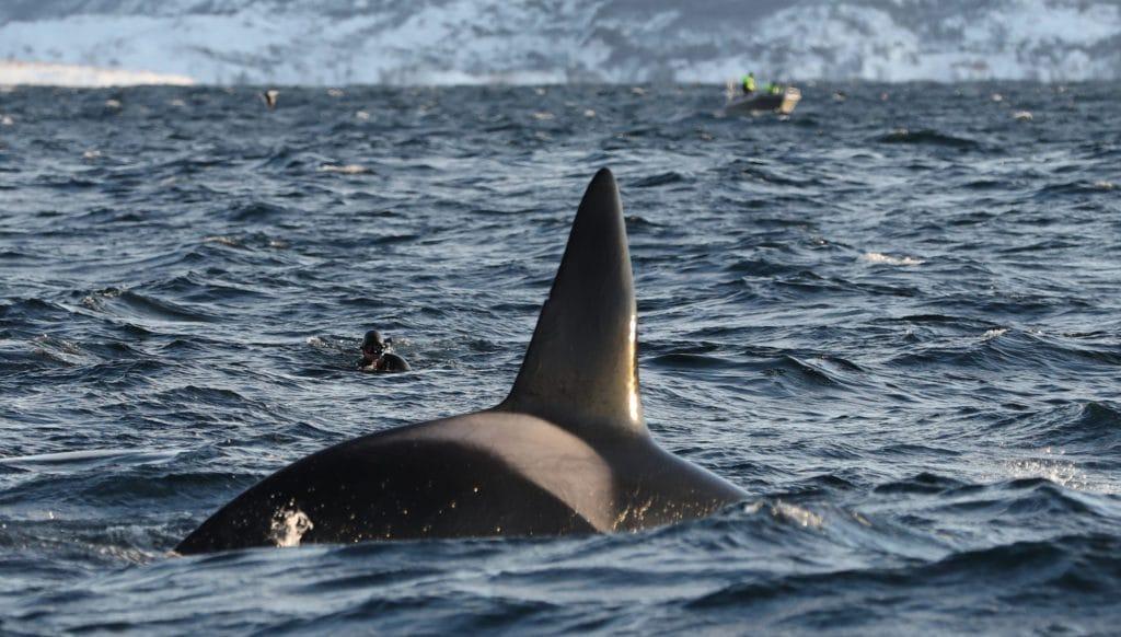 Schnorcheln mit Orcas in Norwegen (C) Steve Truluck