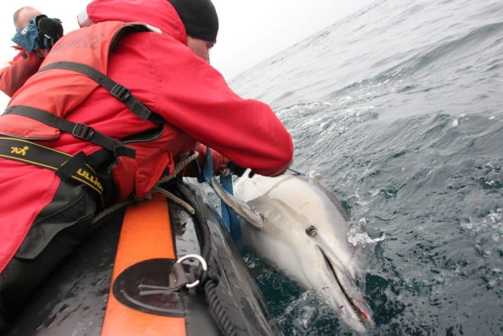 Ein durch Beifang verletzter Delfin wird aus dem Wasser gezogen (C) Greenpeace