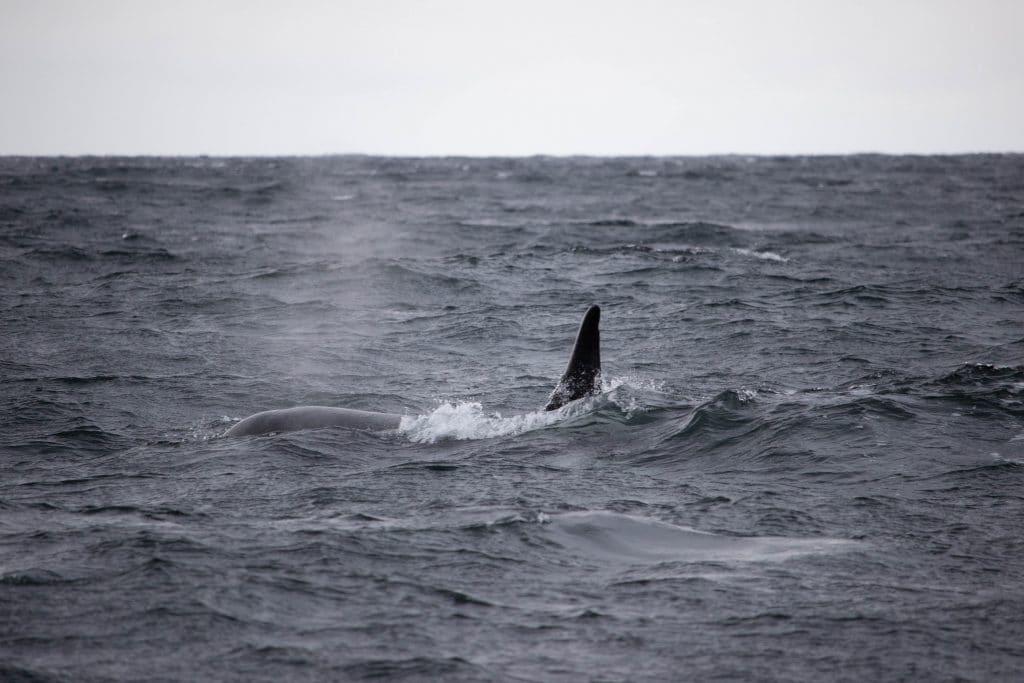 Orca in Norwegen (C) Johanna Exner