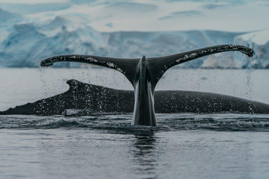 Eine unangenehme Wahrheit – Wie nicht nur Wale, sondern auch wir Opfer des Walfangs werden