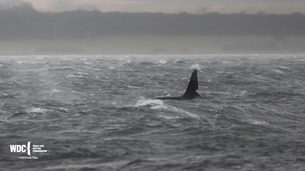 """""""John Coe"""" am Chanonry Point, nordöstlich vor Schottland."""