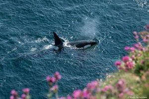 Zeiten und Gezeiten – Orcas vor Großbritannien