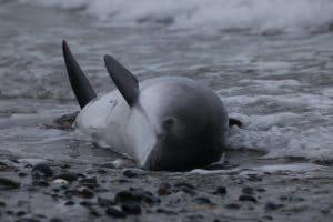 Der Schweinswal stirbt zuerst, die Hoffnung zuletzt