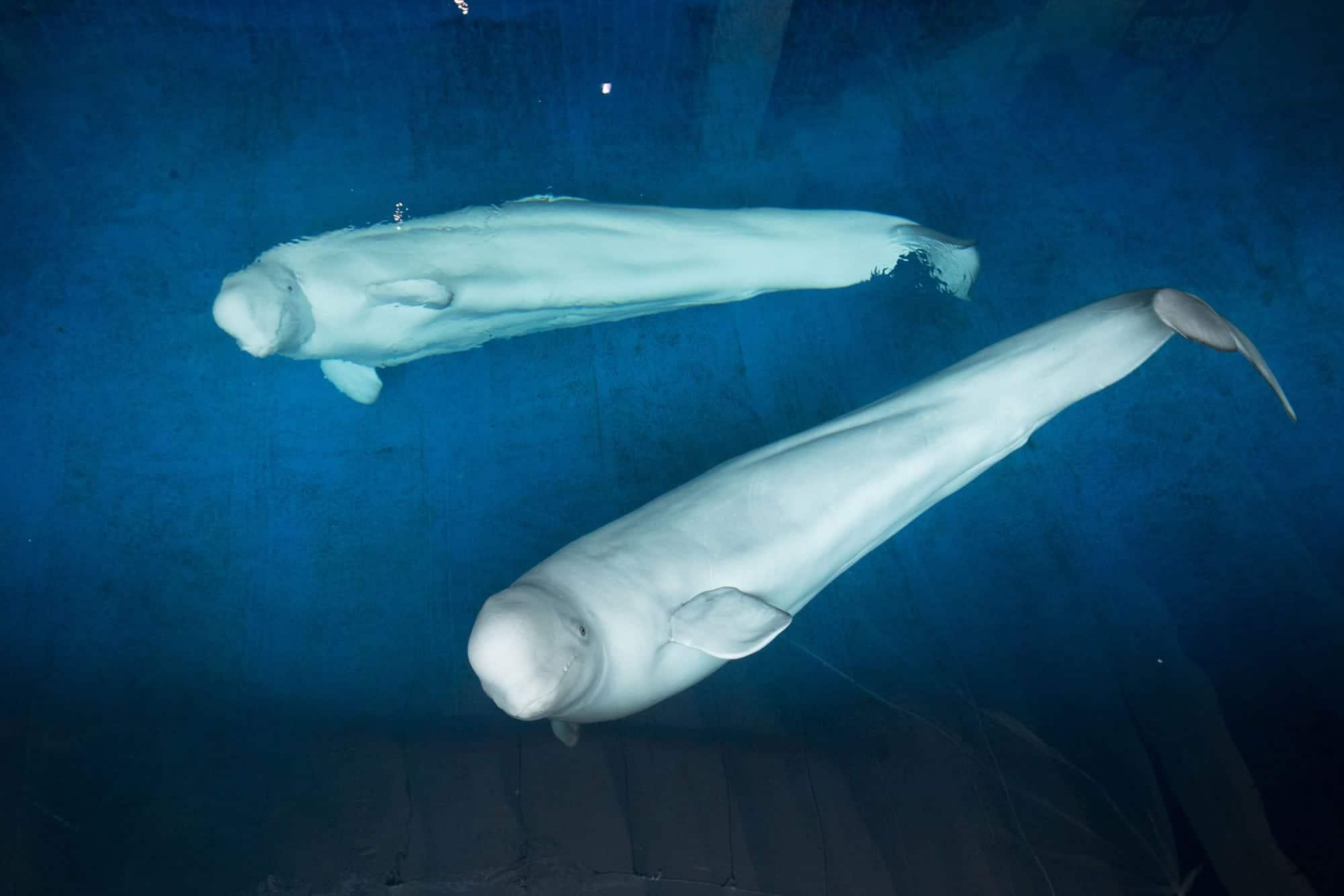 beluga-whales-shanghai2