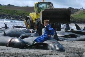 250 Wale beim Walfang auf den Färöer-Inseln getötet