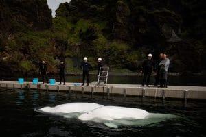 Update zum Beluga-Refugium: Little Grey und Little White kommen nach dem Umzug sicher im Pflegebereich in der Bucht an