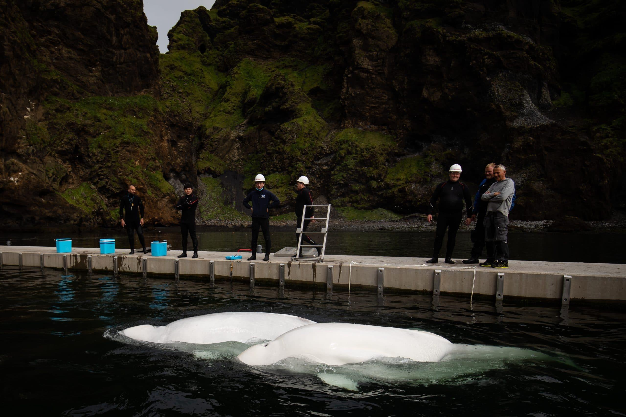 Die beiden Belugas im Pflegebecken ihres neuen Meeresrefugiums. (C) SEA LIFE TRUST
